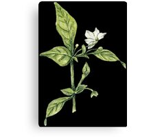 Chilly plant- flowers Canvas Print
