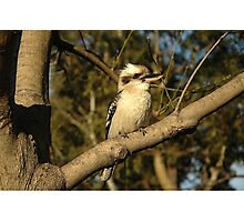 Kookaburra, Saint Leonards, Australia 2005 Photographic Print