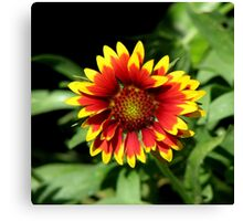 Gaillardia (Blanket Flower) Close-up  Canvas Print