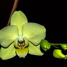 A Christmas Gift from my Phalaenopsis by Bryan D. Spellman