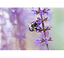 Purple and Bumble Photographic Print