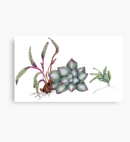 Succulents (coloured pencil) Canvas Print