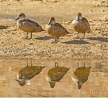 We Are Three Teals by Rick Playle