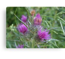 Notobasis Syrica or Syrian Thistle Canvas Print
