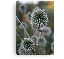 Macro Seed Head of Round Headed Garlic Canvas Print