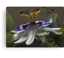 Close Up of Beautiful Passiflora Flower Canvas Print