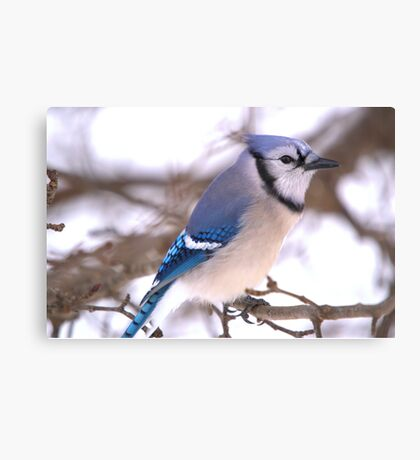 Winter Jay Canvas Print