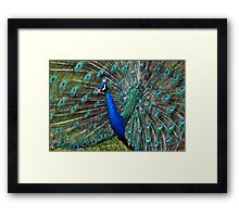 Colorful male peacock Framed Print