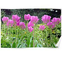 Purple spring tulips Poster