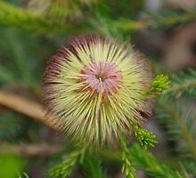 Teasel Banksia by lezvee