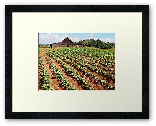 Viñales Tobacco Farm by ponycargirl