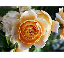 English David Austin Rose Crown Princess Margareta Photographic Print