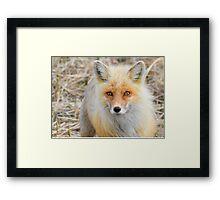 Alaskan Fox Framed Print