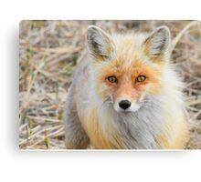 Alaskan Fox Canvas Print