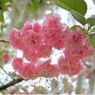 Flowering Kwanzan Cherry Tree by ©Dawne M. Dunton