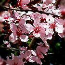 Cherry Blossom by Lisa Taylor