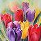 Tulips, tulips and...tulips!!!