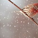 Snowy day for a House Finch by barnsis