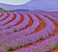 Lavender Contours - Bridestowe Estate, Tasmania Sticker