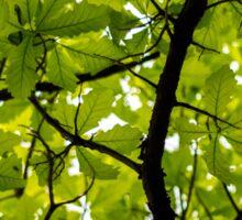 Swamp White Oak Tree Sticker