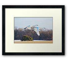 snow geese - in flight Framed Print