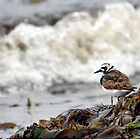 Turnstone - Arenaria interpres by Chris Monks