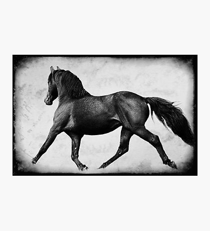 Lippitt Morgan Stallion Trotting Photographic Print