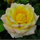 Lemon and Peach Rose by Penny Smith