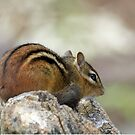 Little Chipmunk, VA by Bine