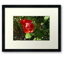 Red, Red Rose Framed Print