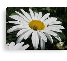 Close Up Common Daisy with Winged Insects Canvas Print