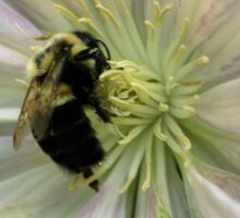 Bumble Bee On Clematis Flower Sticker