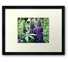 Lupine Flower Trio Framed Print