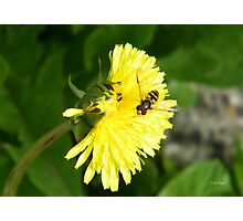 Dandelion Visitor Photographic Print