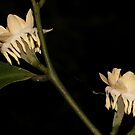 Eupomatia laurina by andrachne