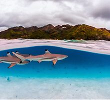 Reef shark by Kana Photography