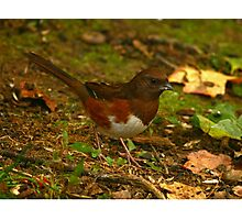 Eastern Towhee Photographic Print