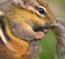 Chipmunk grooming his tail Sticker