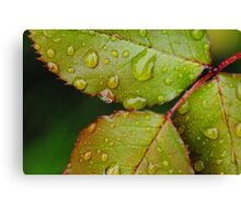 Rain drops on Blackthorn Canvas Print