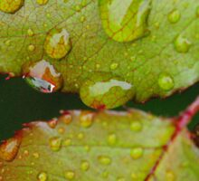 Rain drops on Blackthorn Sticker