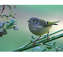 Ruby Crowned Kinglet portrait  Photographic Print