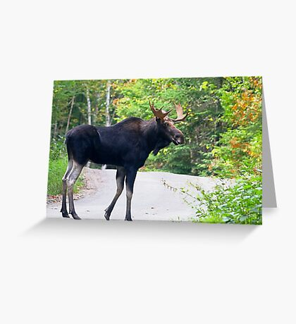 Maine Bull Moose on the road Greeting Card