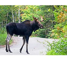 Maine Bull Moose on the road Photographic Print