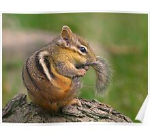 Chipmunk grooming his tail Poster