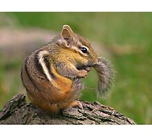 Chipmunk grooming his tail Photographic Print
