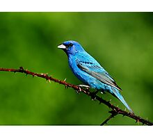 Indigo Bunting on green Photographic Print