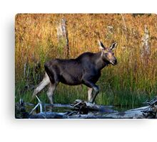 Maine Moose, yearling bull Canvas Print