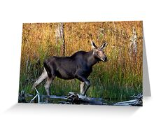 Maine Moose, yearling bull Greeting Card