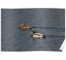 Mr. & Mrs. Mallard out for a swim Poster