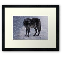 She-Wolf Framed Print
